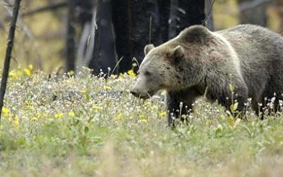 RMEF, Sportsmen's Alliance File Brief in Support of Yellowstone Grizzly Management